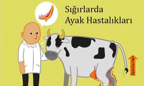 Sığırlarda Ayak Hastalıkları