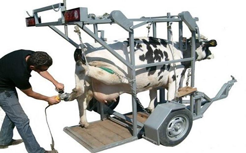 Sığırlarda Ayak Hatalıkları